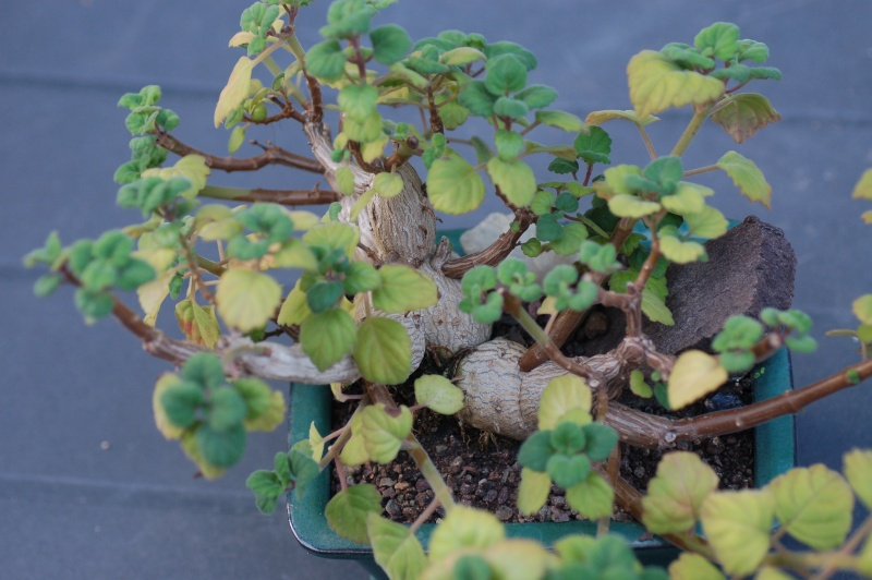 plectranthus ernstii Dsc_4819
