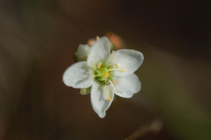 drosera longifolia Dsc_4912