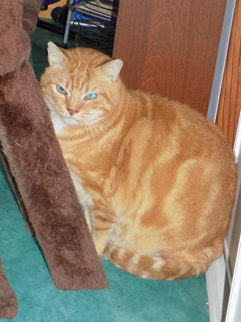 Garfield, Mâle européen (01/01/2007) - FIV+ Dscn5411