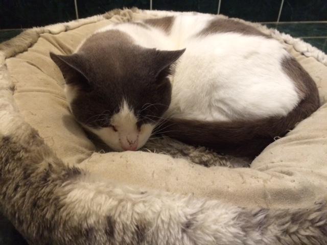 REGLISSE chat blanc et gris né le 10/02/2012 Img_5810