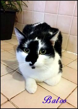 BALOO chat noir&blanc Baloo10