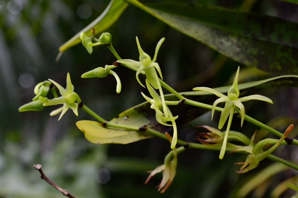 Angraecum calceolus Angrae23