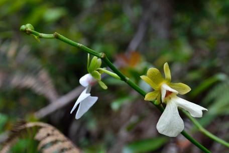 Oeonia rosea Oenia_12