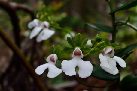 Oeonia rosea Oenia_13