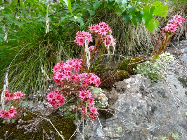 fleurs de montagne.qui connait son nom Dsc00814