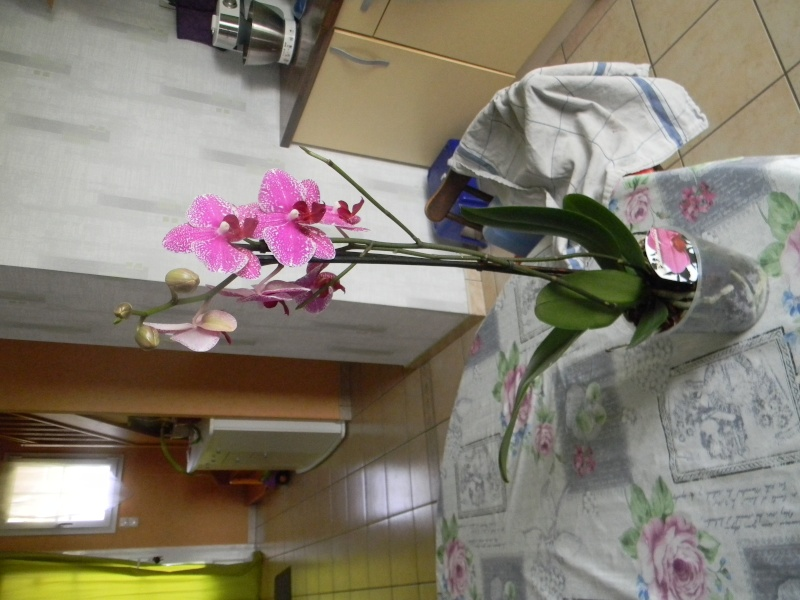 nouveau phal Orchid10