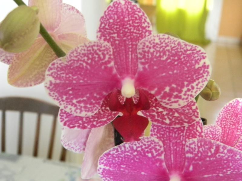 nouveau phal Orchid11