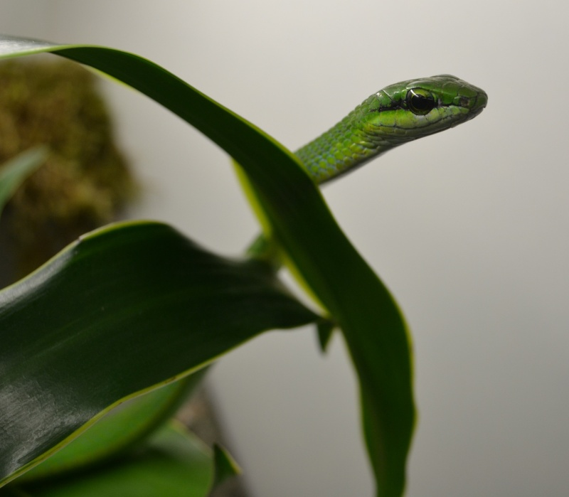 Hapsidophrys smaragdina Dsc_0536
