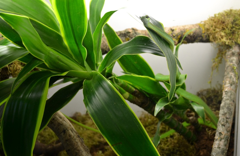 Hapsidophrys smaragdina Dsc_0538