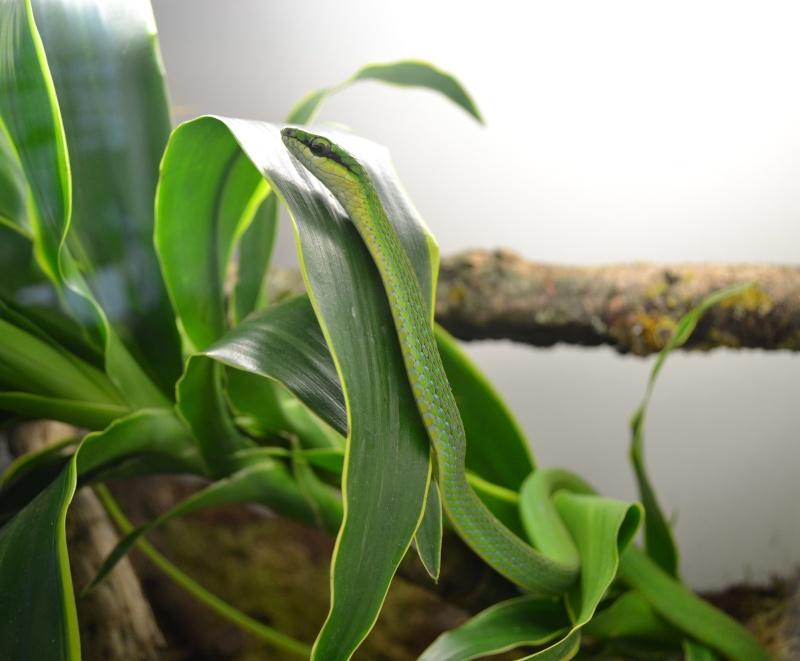 Hapsidophrys smaragdina Dsc_0614