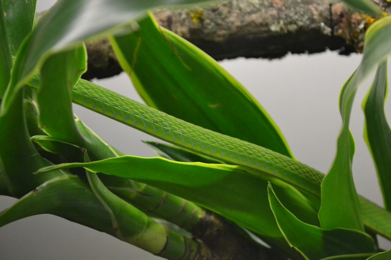 Hapsidophrys smaragdina Dsc_0615