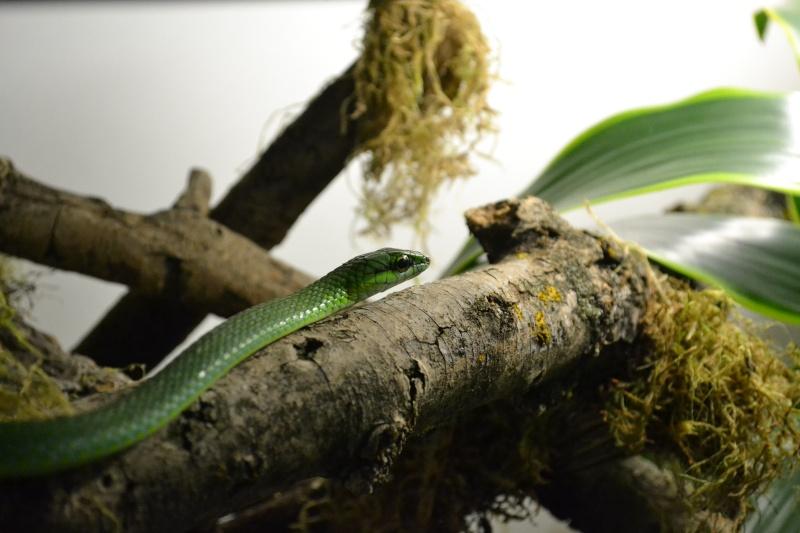 Hapsidophrys smaragdina Dsc_0616