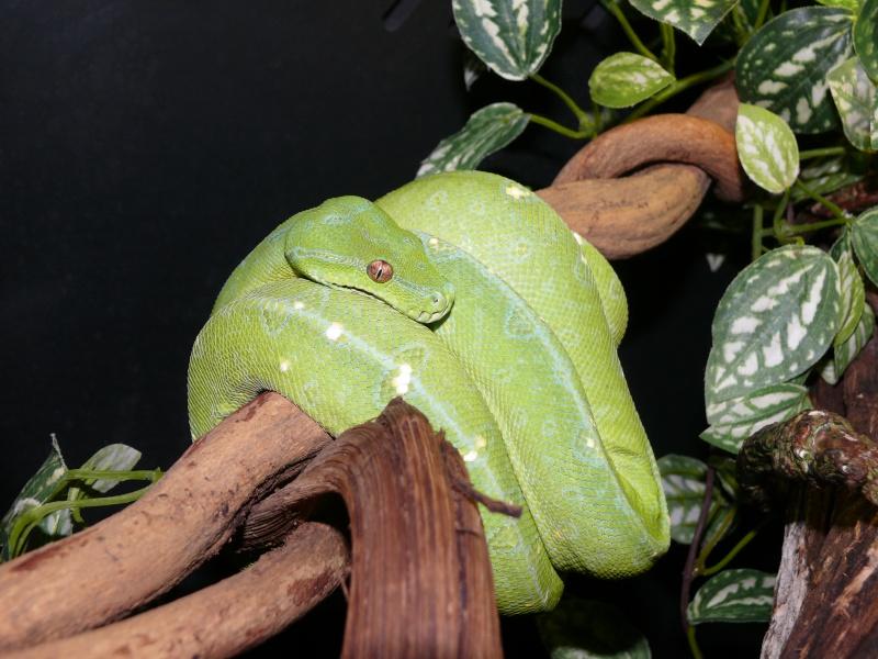 Morelia viridis Wamena F1 - Page 2 P1050210