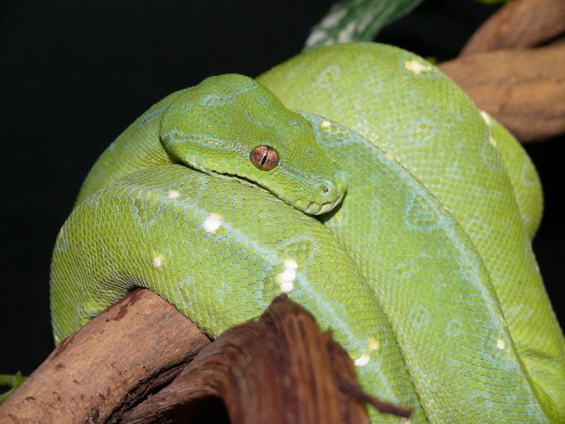 Morelia viridis Wamena F1 - Page 2 P1050212