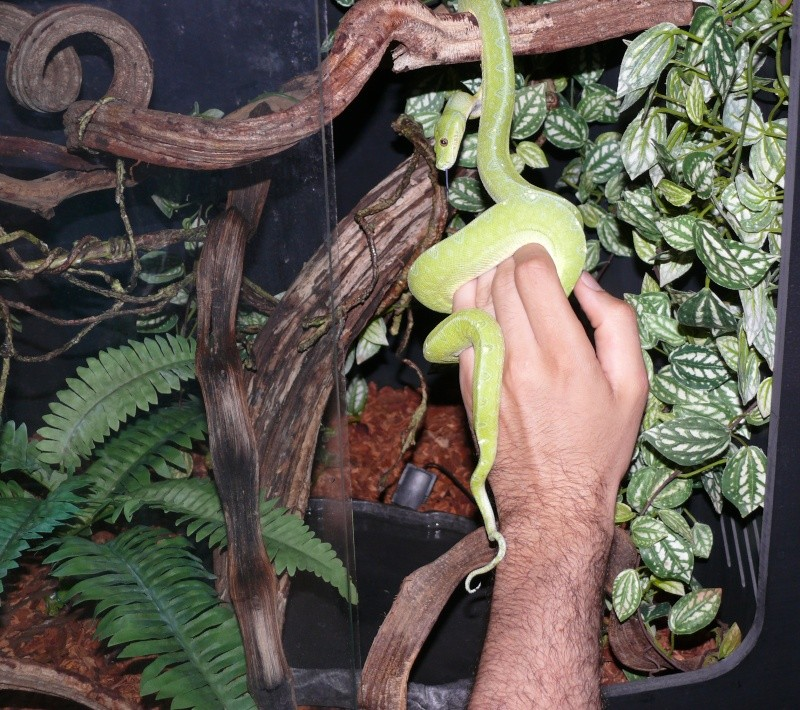 Morelia viridis Wamena F1 - Page 2 P1050311