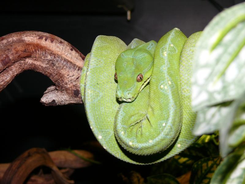 Morelia viridis Wamena F1 - Page 2 P1050312