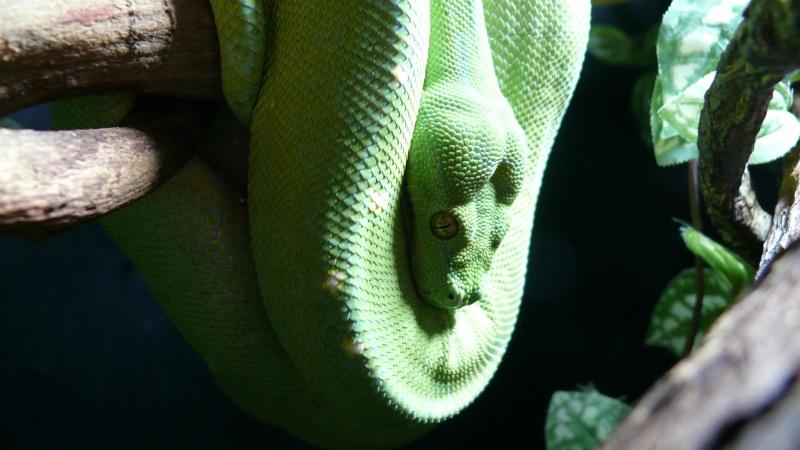 Morelia viridis Wamena F1 - Page 2 P1050425
