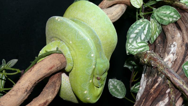 Morelia viridis Wamena F1 - Page 2 P1050511