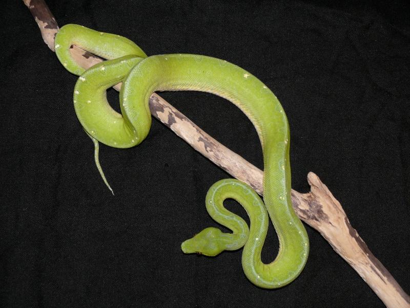 Morelia viridis Wamena F1 - Page 3 P1050514
