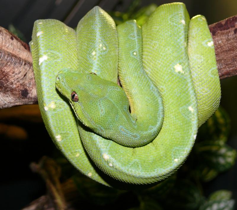 Morelia viridis Wamena F1 - Page 2 Python10