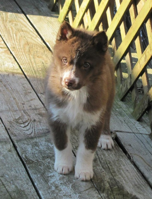 Is My Puppy A Husky? - Page 2 55803811