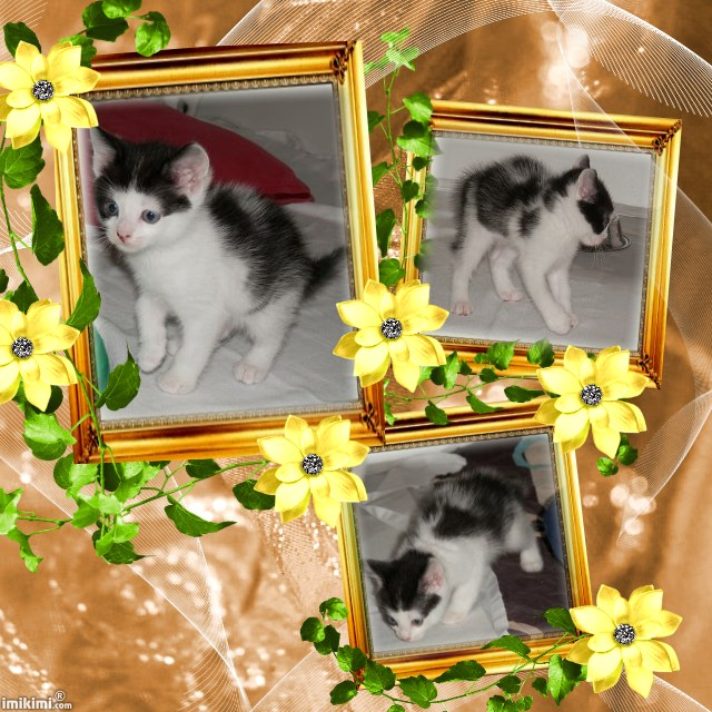 RAJAH chaton blanc et noir type européen non LOOF - Handi'cats (94) Rajah510