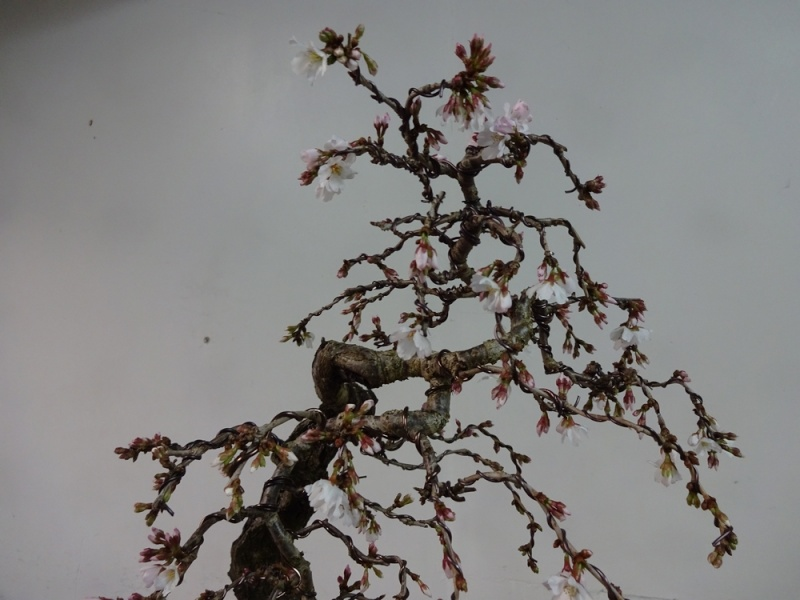 prunus mahaleb graft prunus kojo no maï Dsc00311