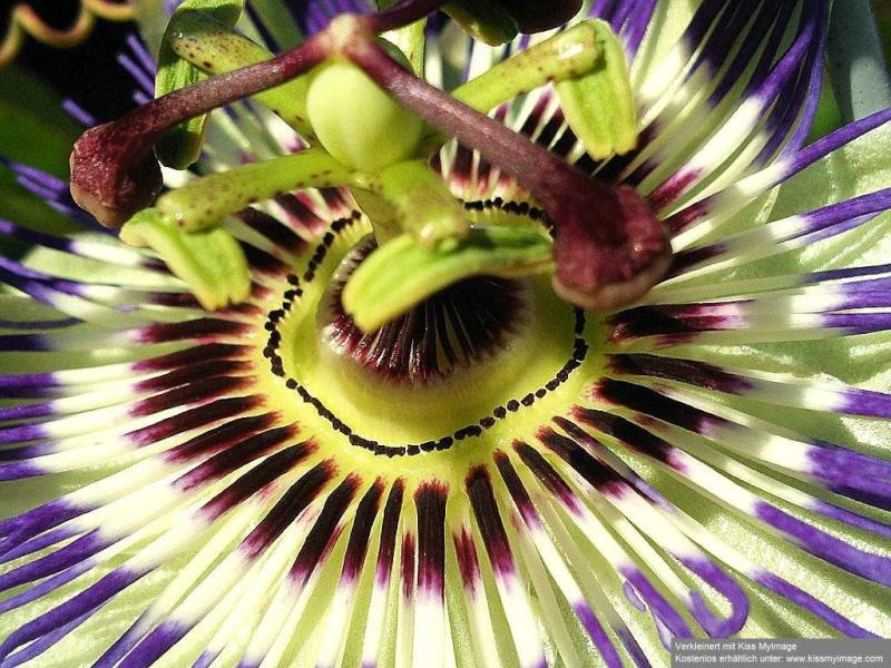 """Passiflora - Passionsblume - kleine """"Juwelen"""" - alles über Aussaat, Pflege, Vermehrung und natürlich Blütenbilder :) Passif14"""