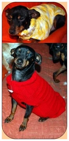 Adoption Nina femelle pinscher retraitée d'élevage de 9 ans (60) 15012510