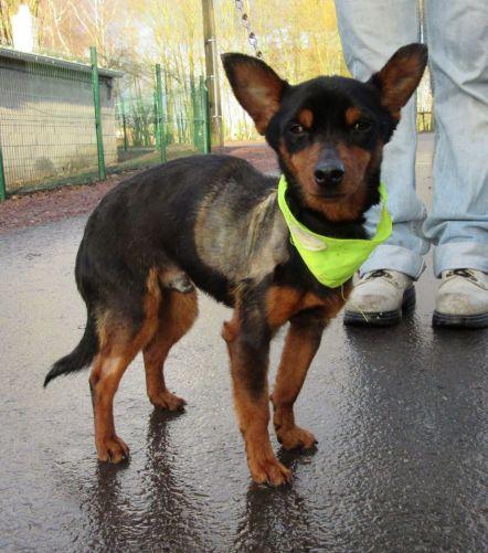 Adoption CID mâle croisé pinscher né le 1 janvier 2011(59) 500_5e10