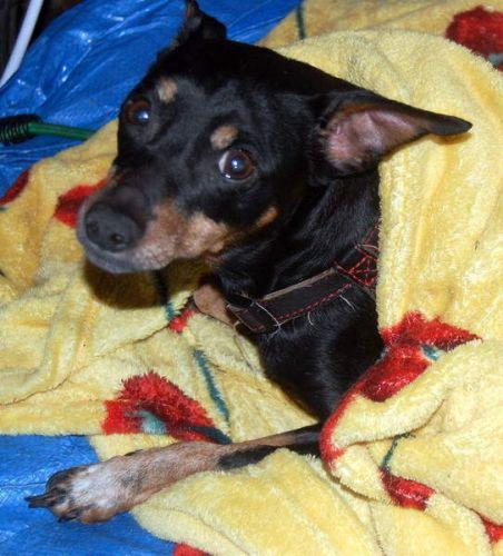 Adoption Toy pinscher noir et feu de 10 ans (60 .Oise) 500_7810