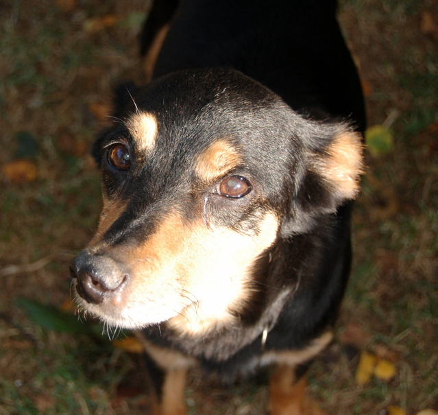 Louna x pinscher de 11ans à l'adoption (60) C80ig10