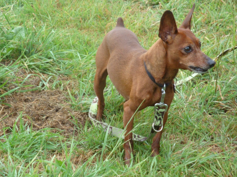Athos ,pinscher né le 01-04-2005 à l'adoption. Dsc05111