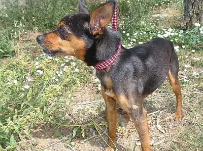Adoption Virgule,pinscher mâle ,3 ans et 3 mois. P1010211