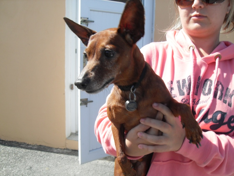 Athos ,pinscher né le 01-04-2005 à l'adoption. Sdc10611