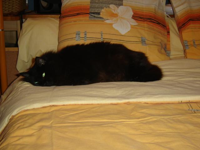 EXQUISE, chatte européenne noire à poils longs, née le 01/12/2009 Dsc01112