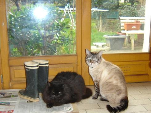 EXQUISE, chatte européenne noire à poils longs, née le 01/12/2009 Dsc01113