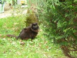 EXQUISE, chatte européenne noire à poils longs, née le 01/12/2009 Dsc01114