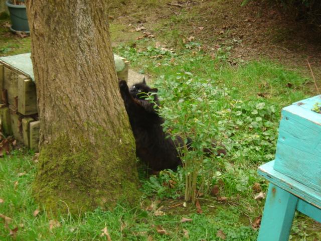 EXQUISE, chatte européenne noire à poils longs, née le 01/12/2009 Dsc01115