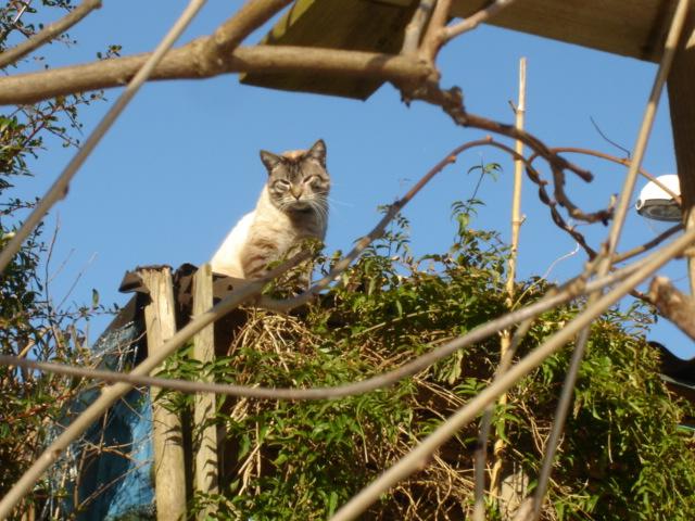 EXQUISE, chatte européenne noire à poils longs, née le 01/12/2009 Dsc01117