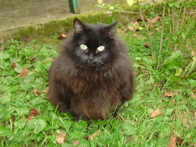 EXQUISE, chatte européenne noire à poils longs, née le 01/12/2009 Dsc01118