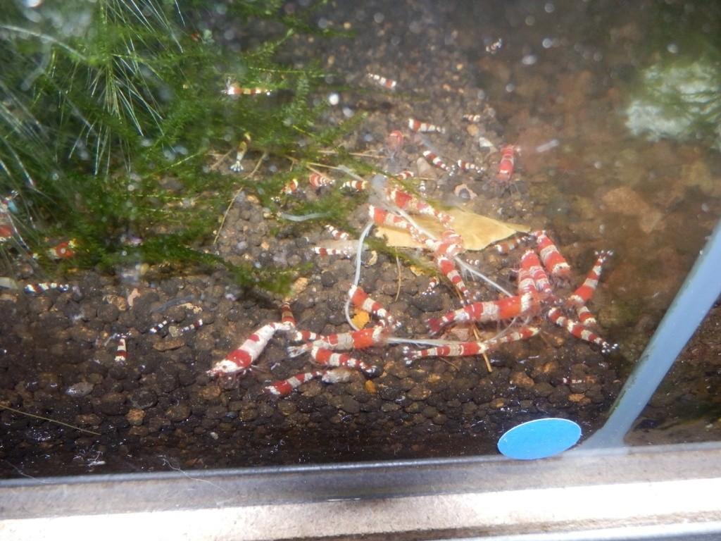 Mes 17 bacs à crevettes - Page 3 P3070613