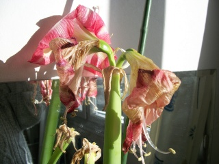 amaryllis - Page 5 Photo122