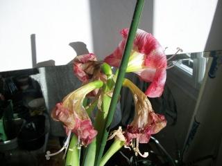 amaryllis - Page 5 Photo124