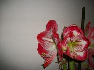 amaryllis - Page 5 Photo_20