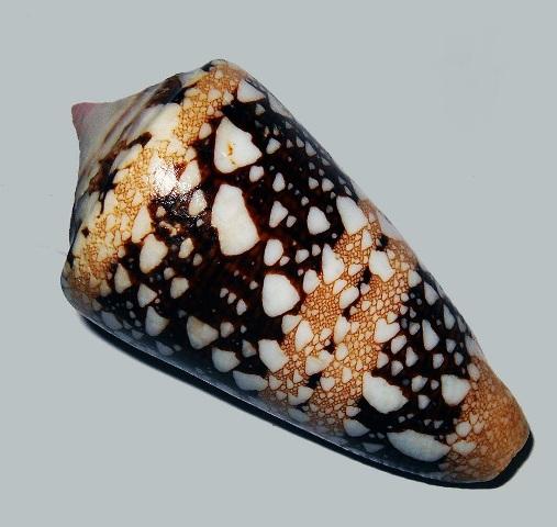 Conus (Cylinder) ammiralis  Linnaeus, 1758 - Page 3 _572_610