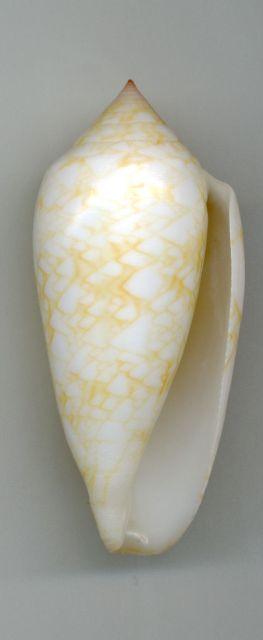 Conus (Cylinder) archiepiscopus  Hwass in Bruguière, 1792 - Page 4 _573_410