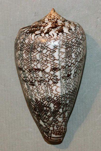 Conus (Cylinder) abbas  Hwass in Bruguière, 1792 Abbas10