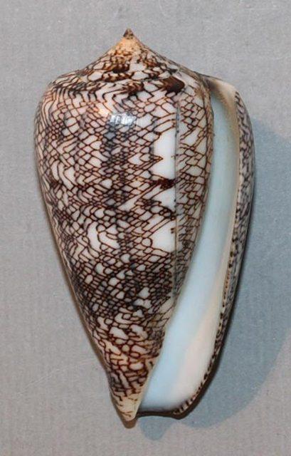 Conus (Cylinder) abbas  Hwass in Bruguière, 1792 Abbas210