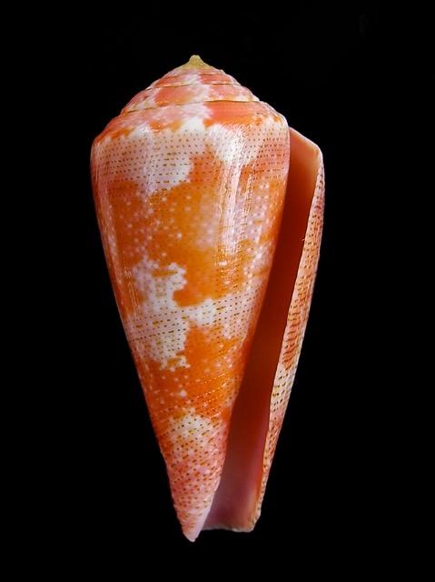 Conus (Rhizoconus) pertusus elodieallaryae  Cossignani, 2013 Elodie11
